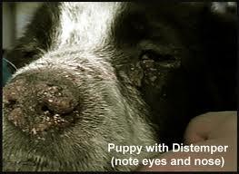بیماری دیستمپر سگ